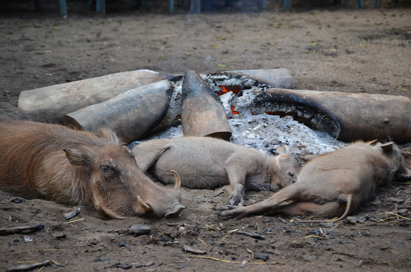 warthog family by the fireside