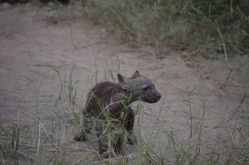 hyena cub -Kruger
