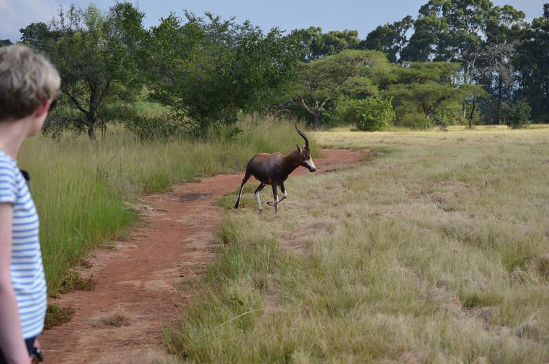 blesbuck at  at Mlilwane Wildlife Sanctuary, beneath the Nyonyane Mountains