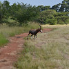 blesbuck at  at Mlilwane Wildlife Sanctuary, beneath the Nyonyane Mountains