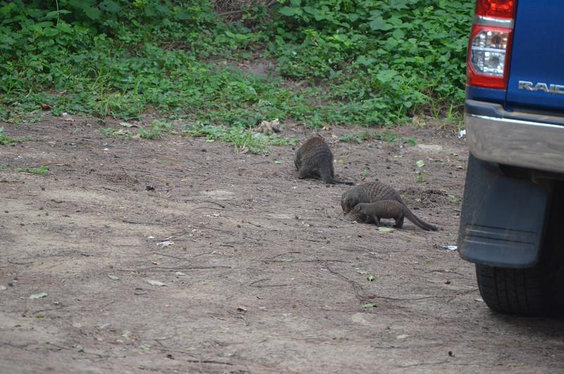Banded mongoose family at Cape Vidal
