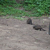 Banded mongoose family at Cape Vidal