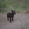 Hyena cub - kruger