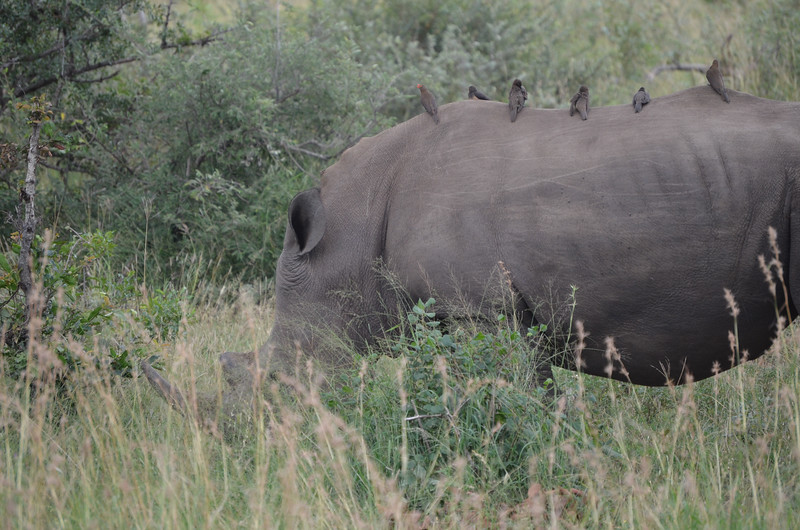 White Rhino (aka Oxpecker transport) -Kruger