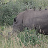 White Rhino (aka Oxpecker transport) -Kruger