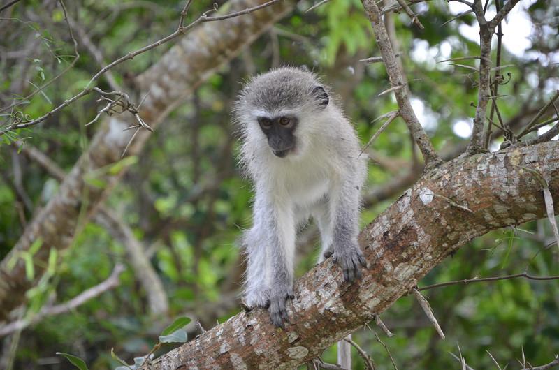 Vervet monkey at Isimangaliso wetland park