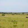 Blue wilderbeast Isimangaliso wetland park