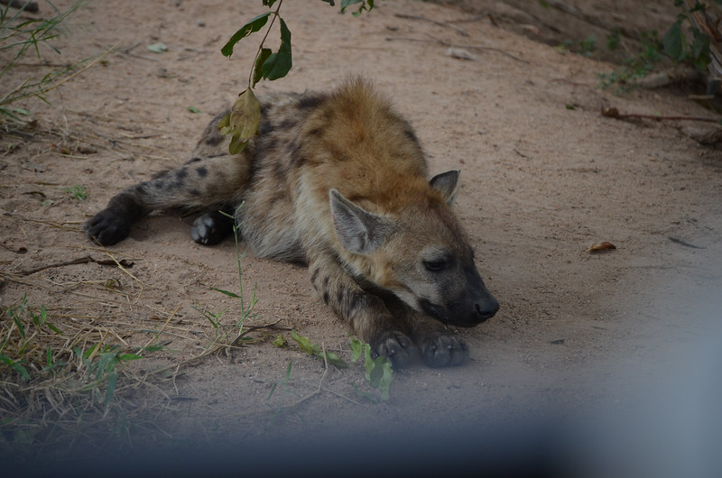 lousy baby sitter- male hyena sleeping on duty in Kruger