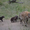 baby hyena- cubs less than one week old