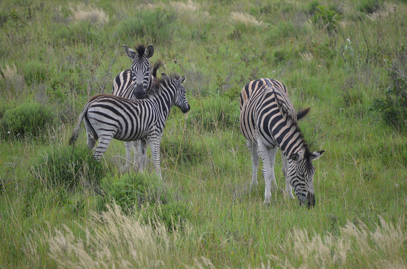 Zebra family at Isimangaliso