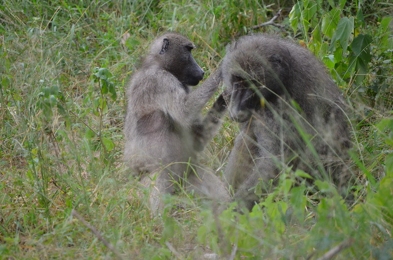 Chacma baboons grooming- Kruger