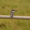 Pied Kingfisher- Kruger