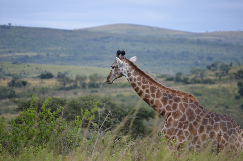 Giraffe- Hluhluwe-Umfolozi Game Reserve