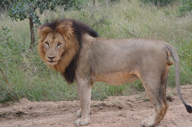 Lion- Kruger Park