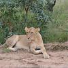 Lioness- Kruger Park