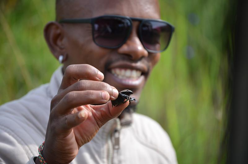 Dung beetle (aka fly transport) at Isimangaliso wetland park