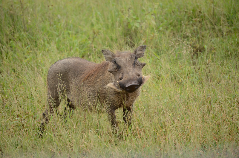 warthog at Hluhluwe-Umfolozi Game Reserve