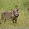 warthog at Hluhluwe-Umfolozi Game Reserve