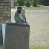 Vervet Monkey in st Lucia