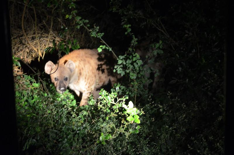 Hyena cub - isimangaliso