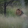 Lions- Kruger Park