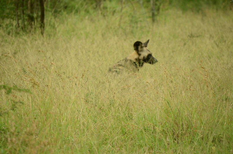 African wild dog at Hluhluwe-Umfolozi Game Reserve