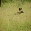 African wild dog at Hluhluwe-Umfolozi Game Reserve
