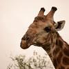 male Giraffe- Kruger