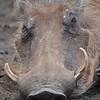 mummy warthog