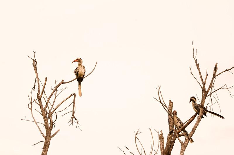 red-billed hornbill, Kruger