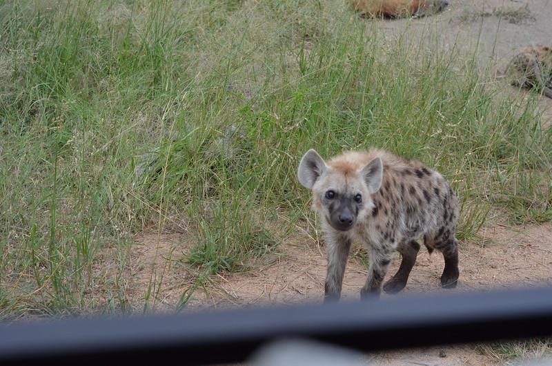 hyena male