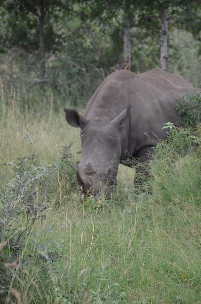 White Rhino -Kruger