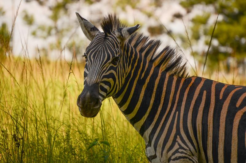 Zebra at Mlilwane Wildlife Sanctuary, beneath the Nyonyane Mountains