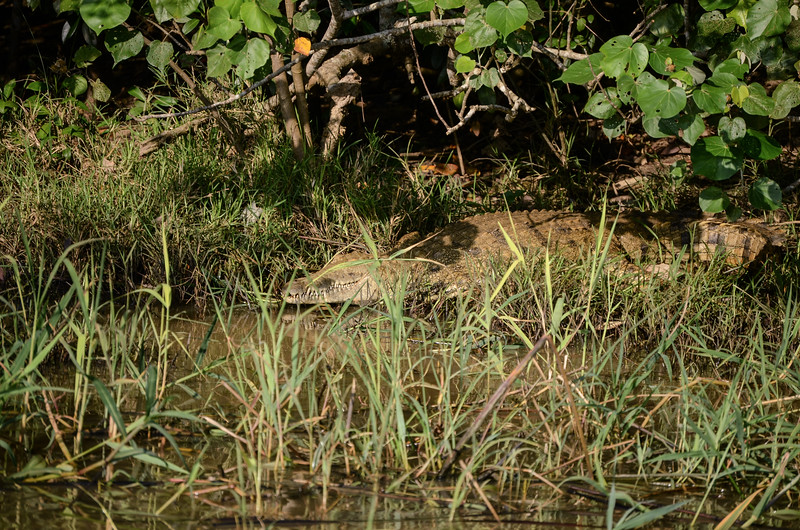 Nile Croc in St Lucia narrows