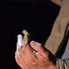 Chamelion on night drive isimangaliso