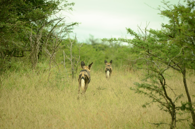 wild dogs at Hluhluwe-Umfolozi Game Reserve