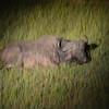 cud-chewing Buffalo on night drive