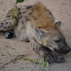 lousy baby sitter- male hyena sleeping on duty in Kruger