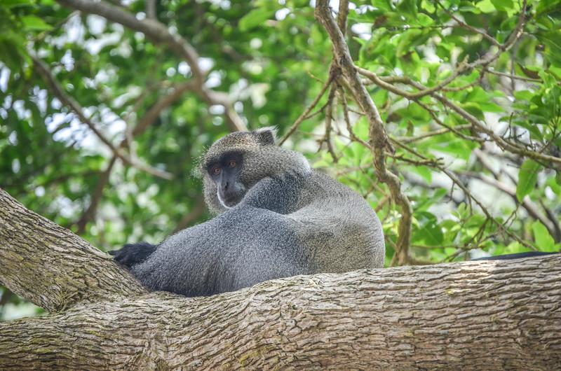 Samango Monkey at Isimangaliso wetland park