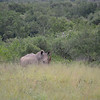 Rhino at at Hluhluwe-Umfolozi Game Reserve