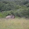 Rhino at at Hluhluwe-Umfolozi Game Reserve