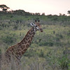 giraffe (males have bald horns)