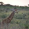 giraffe (males have bald horns)