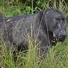 Chacma baboon at Hluhluwe-Umfolozi Game Reserve