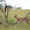 impala at Hluhluwe-Umfolozi Game Reserve