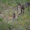 Chacma baboons- Kruger