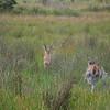 Reedbuck running at Isimangaliso wetland park