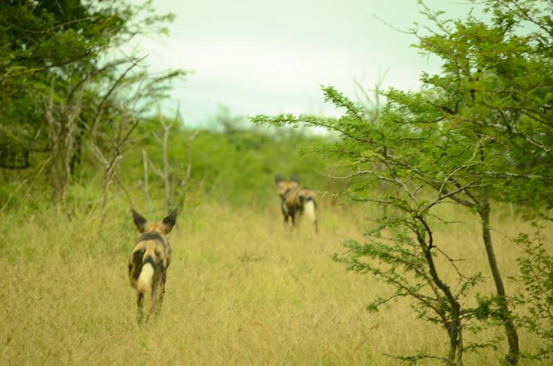 wild dogs at Hluhluwe-Umfolozi Game Reserve