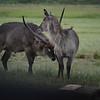 Blue Roan antelope - Mlilwane