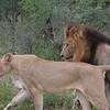 Courting Lions- Kruger Park